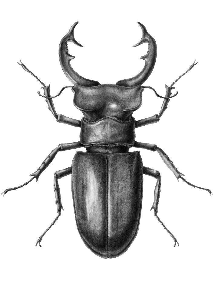 Drawn beelte Beetle Drawing Art Pic Pencil