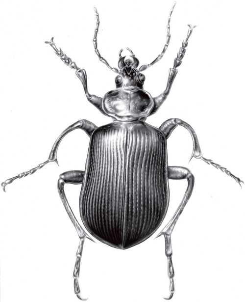 Drawn beatle Much entomology beetles! things the