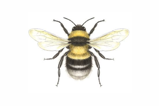 Drawn bees Bumble Bumble bee Bee Drawing