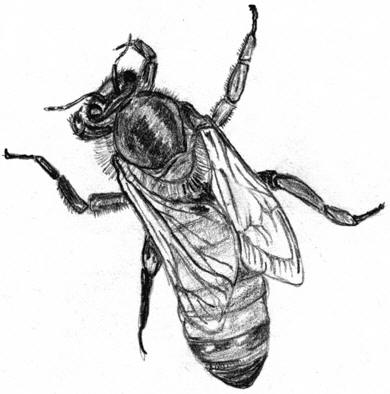 Drawn bees Drawing © of  The