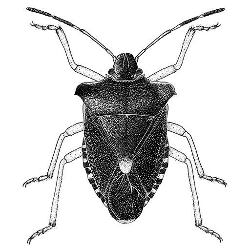 Drawn bugs beetle Rufipes on Insect best Pinterest