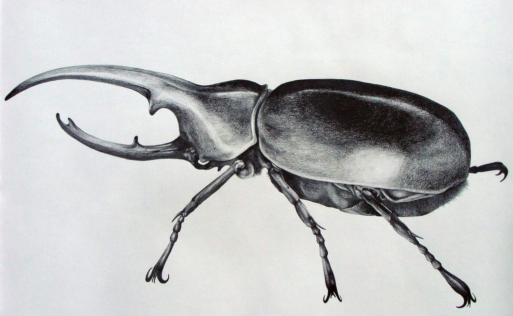 Drawn beetle hercules beetle - Pencil and in color drawn ...