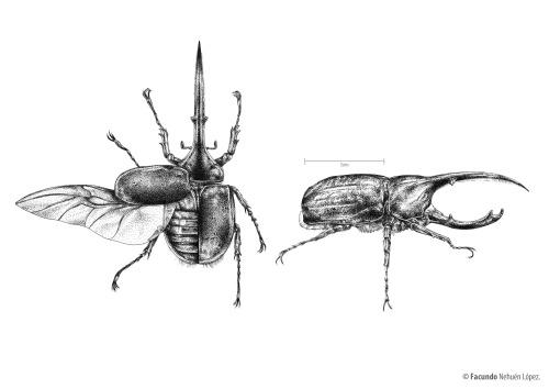 Drawn beatle hercules beetle #1