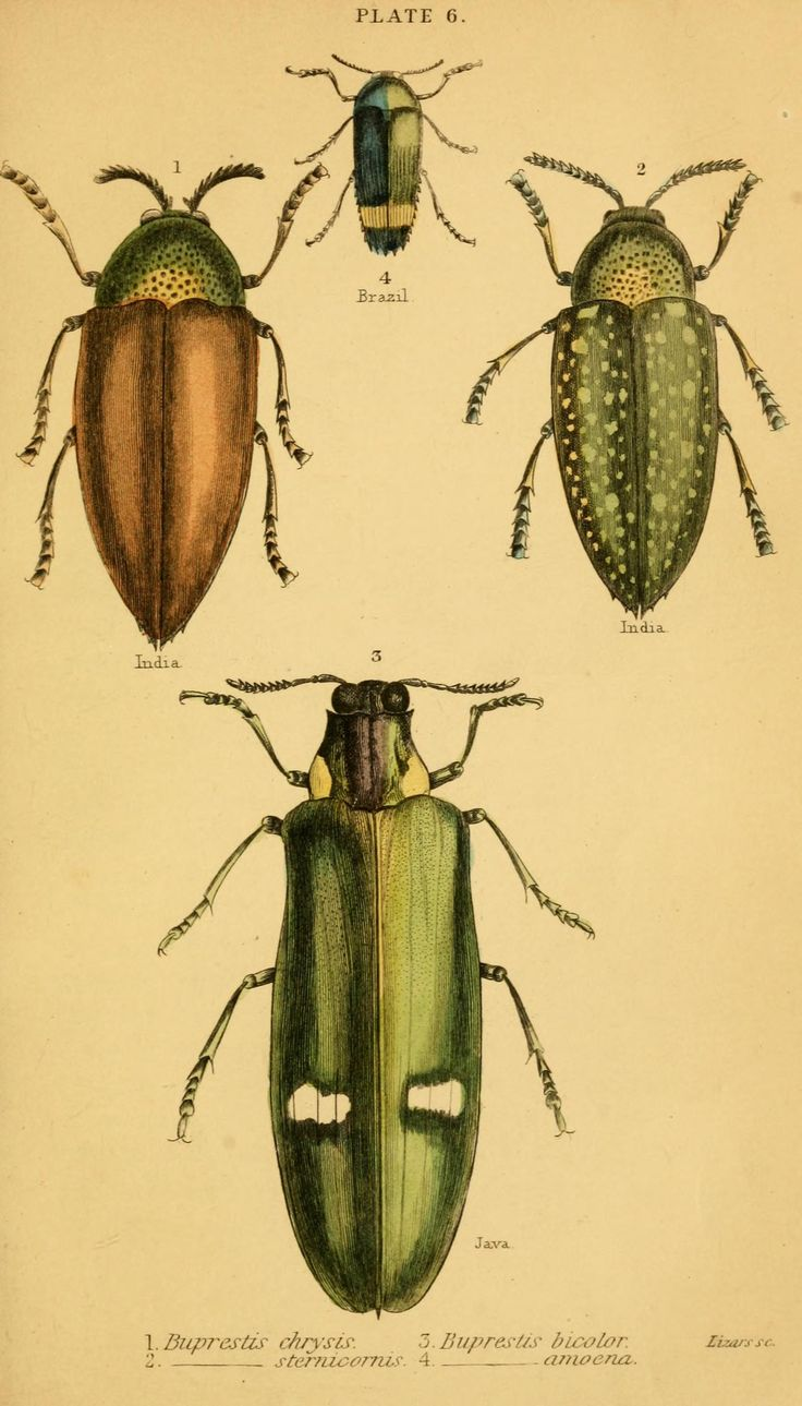 Drawn bugs natural history Library 122 Biodiversity on images