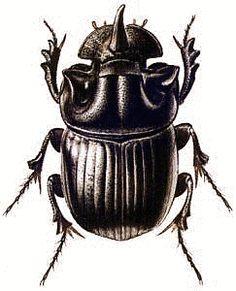 Drawn bugs scarab beetle Animated beetle Free Animations Beetle