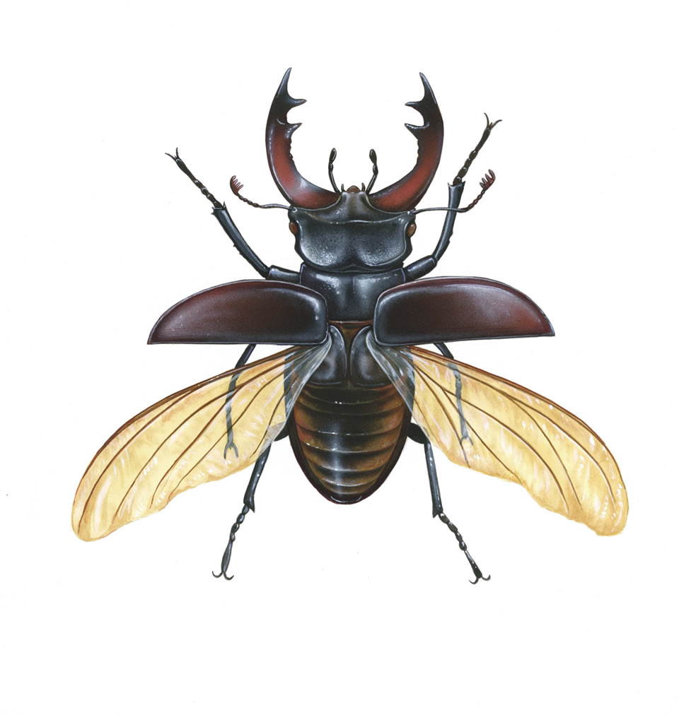 Drawn flying Stag Male Beetle Beetle Stag