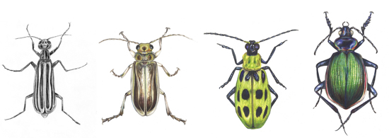 Drawn beetles To Epicauta in in beetle