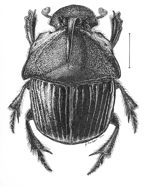 Drawn beetles Dung drawing  Insects Pinterest