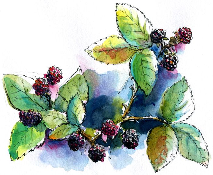 Drawn bush clipart Area: Sketchers Blackberries Picking Blackberries