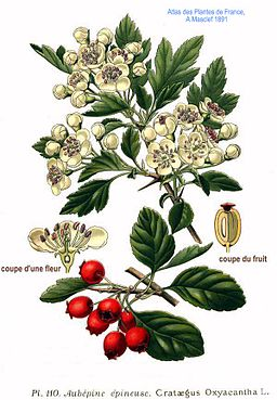 Drawn berry In L of oxyacantha Months