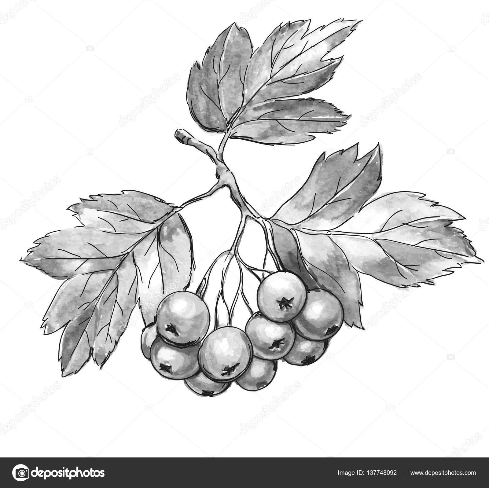 Drawn berry  berries textured — Hawthorn