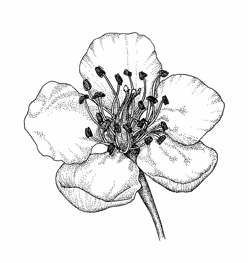 Drawn berry Botany (royal schuettei Go