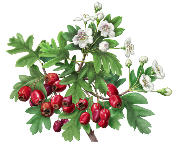 Drawn berry Happy Hearts! eastern Happy =