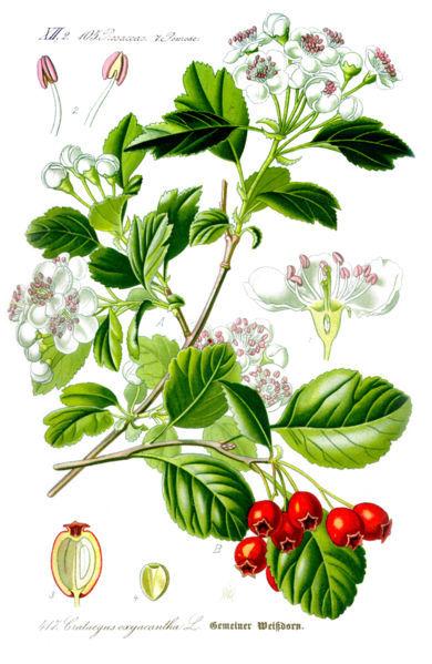 Drawn berry Hawthorn Golden drawing Blog Hawthorn