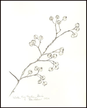 Drawn berry Drawing hawthorn branch of Botanical