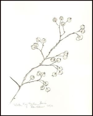 Drawn berry Drawing hawthorn branch of Botanical