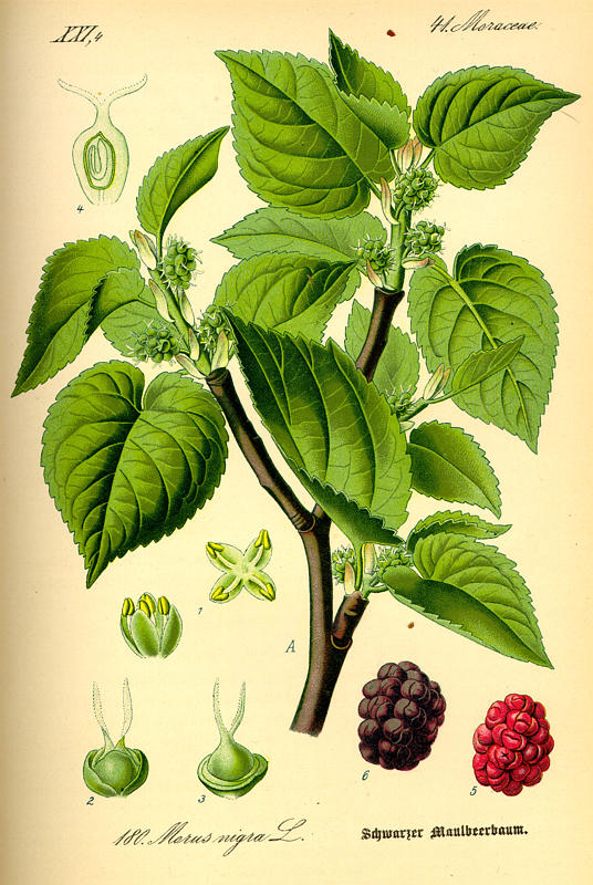 Drawn berry And fruit Mulberry another fruit