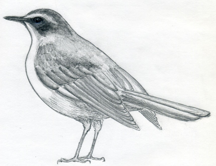 Drawn robin simple How the to enlarge Draw