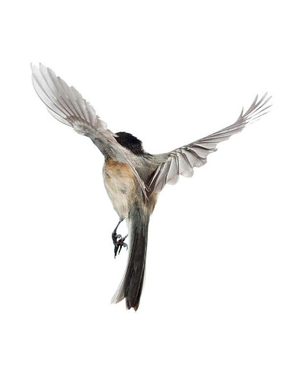 Drawn swallow bird landing #13