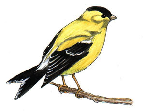 Drawn brds yellow finch  Finches