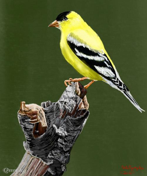 Drawn brds yellow finch Bird animals Artwork by an