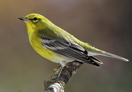 Drawn brds yellow finch Identification Birds American  About