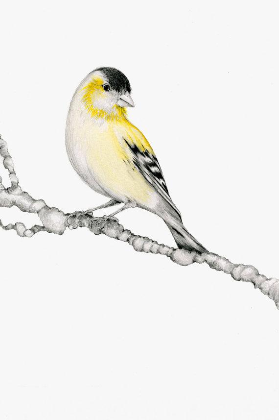 Drawn brds yellow finch Print Finch Art my Giclee