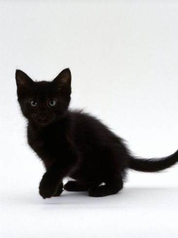 Drawn black cat domestic shorthair Domestic Pinterest Kitten & images