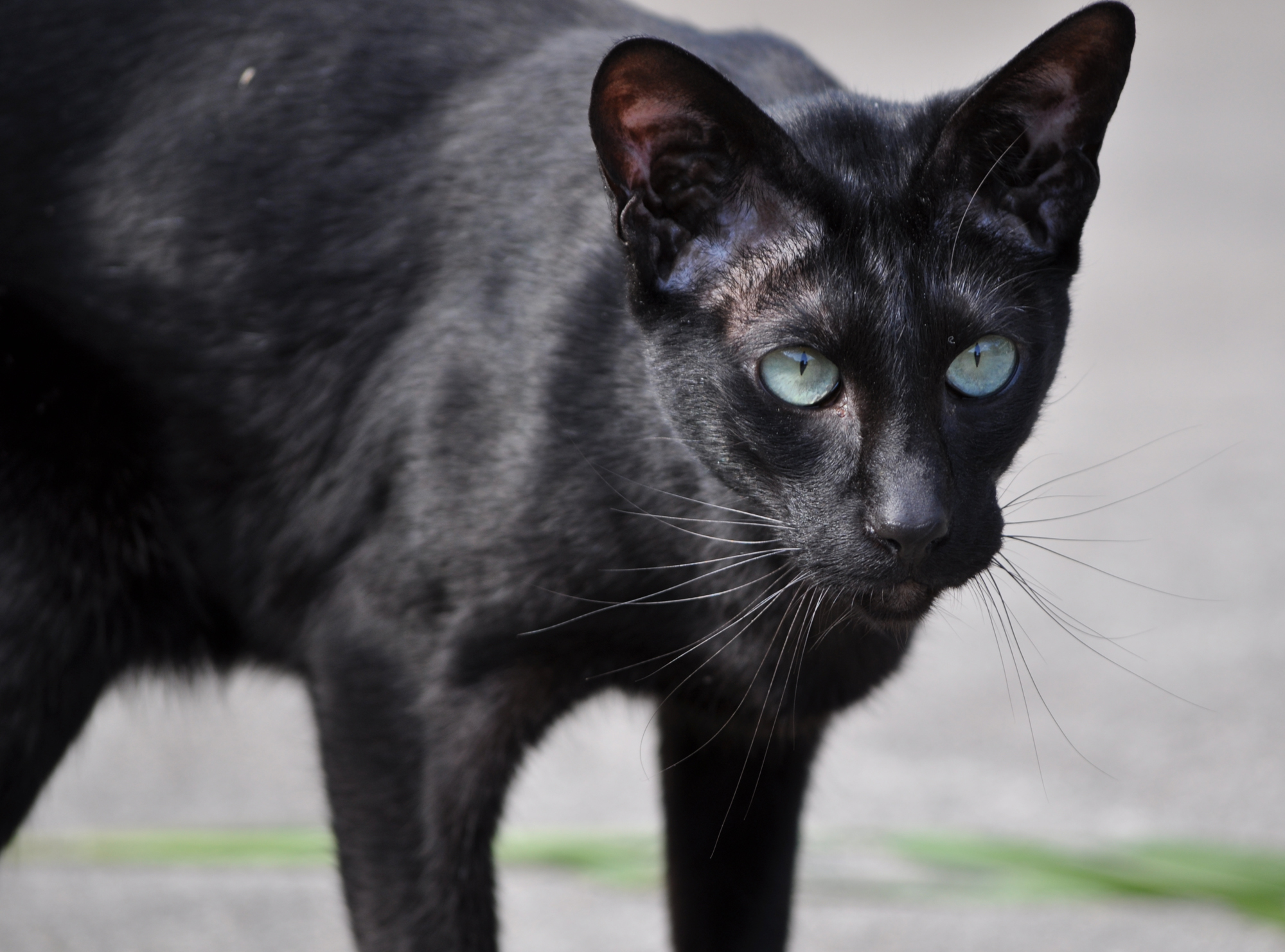 Drawn black cat domestic shorthair But that Siamese modern maintains