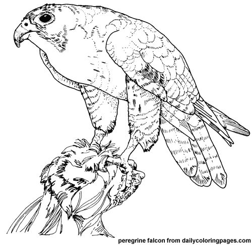 Peregrine Falcon clipart coloring Pages bird texas pages Coloring