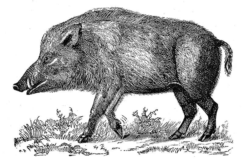 Drawn boar On Stand boar Wild up