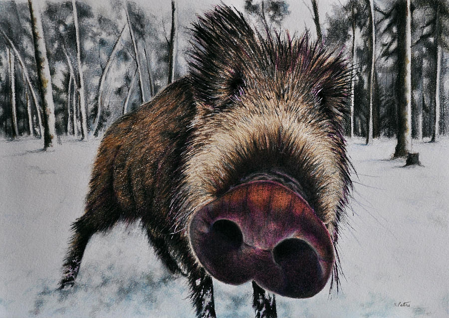 Drawn boar Peters Drawing Drawing Pencil Drawing