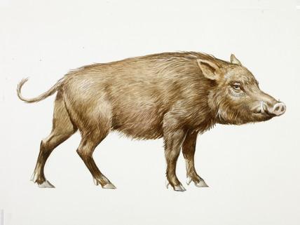 Drawn boar Photo#5 drawing boar Wild Boar
