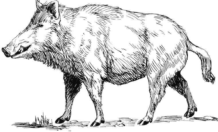 Drawn boar Of Wyrds] Wane Image Pagan