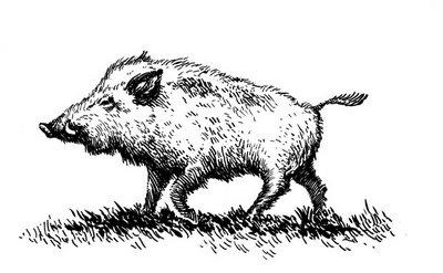 Drawn boar Boar Guide Online Fence information