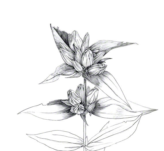 Drawn plant mexican flower Plant white late in prairie