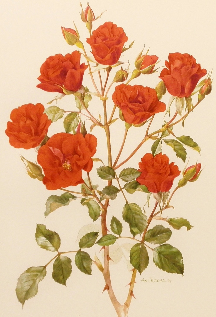 Drawn rose bush antique flower Vintage illustrations/vintage 20 Rose Wall