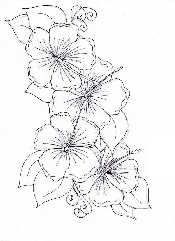 Drawn hibiscus colorado flower : Hibiscus  Flower ·