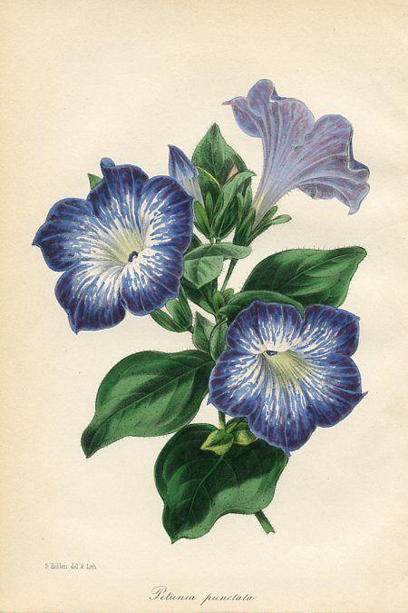Drawn bouquet petunia #2