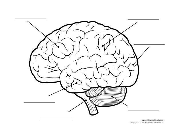 Drawn brains blank And Labeled the Human Brain