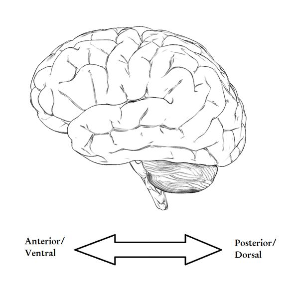 Drawn brains blank The Parts Posterior to Basic