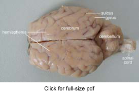 Drawn brains dissection Sheep Guide Sheep Brain Dissection