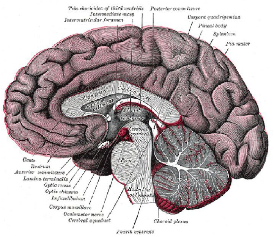 Drawn brains dissection Dissection Picture Sheep biology4friends Brain