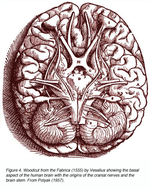 Drawn brains dissection The and brain aspect Visual
