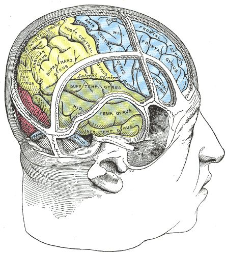 Drawn brains gray's anatomy Of about Drawing 145 the