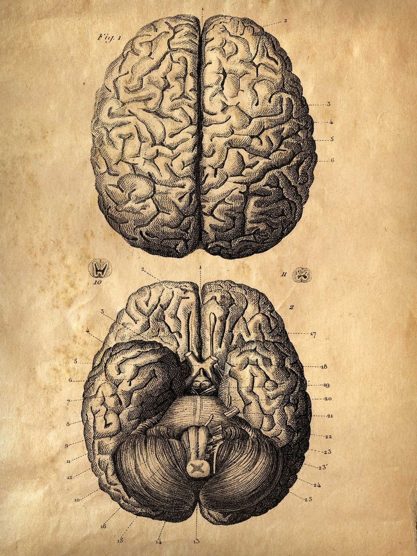 Drawn brains gray's anatomy Anatomy Medical Vintage Illustration Science