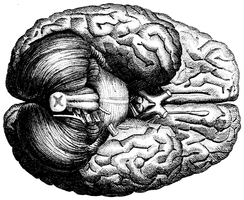 Drawn brains gray's anatomy Google medical Google Hyde AnatomyHuman