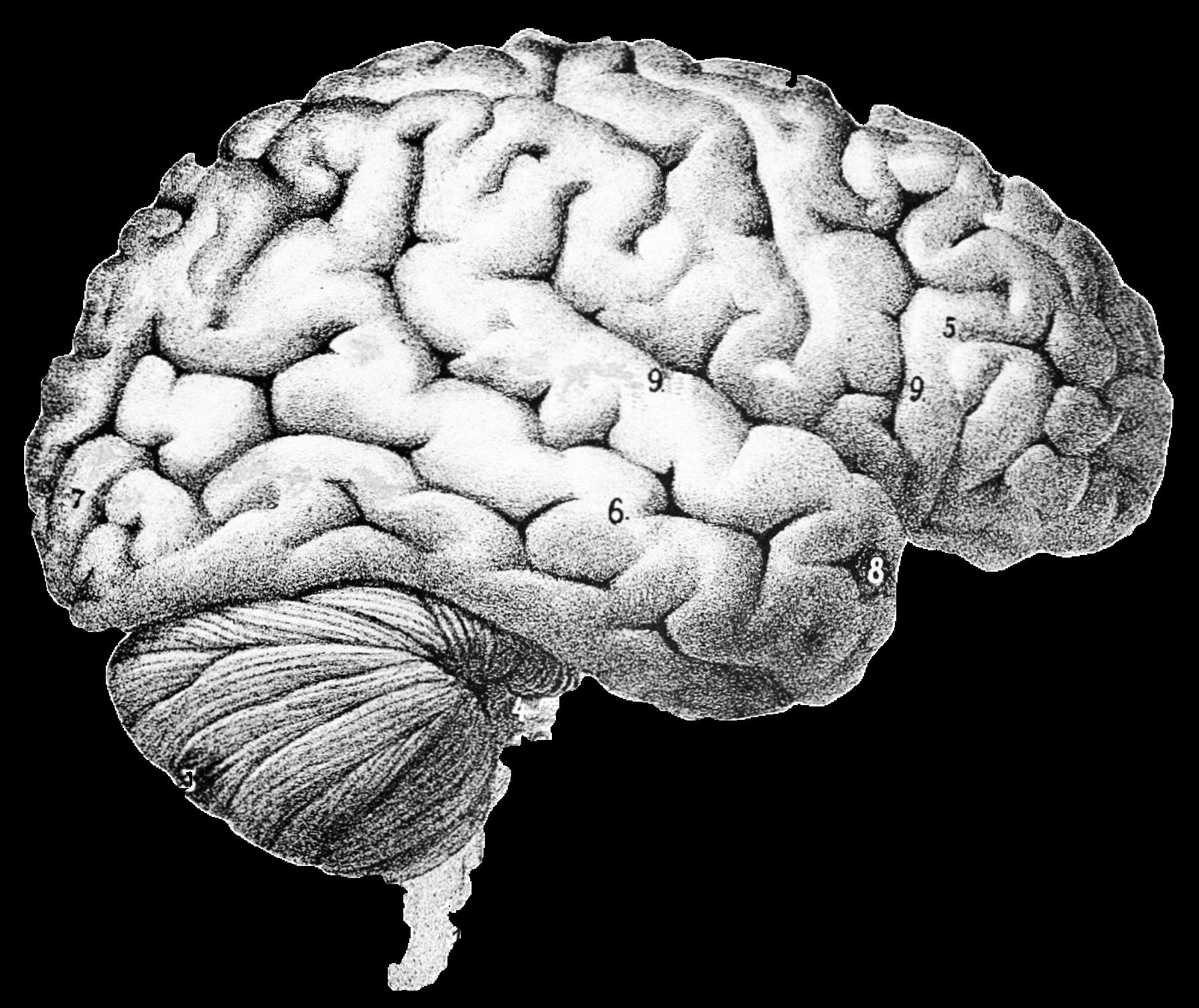 Drawn brain transparent background #8