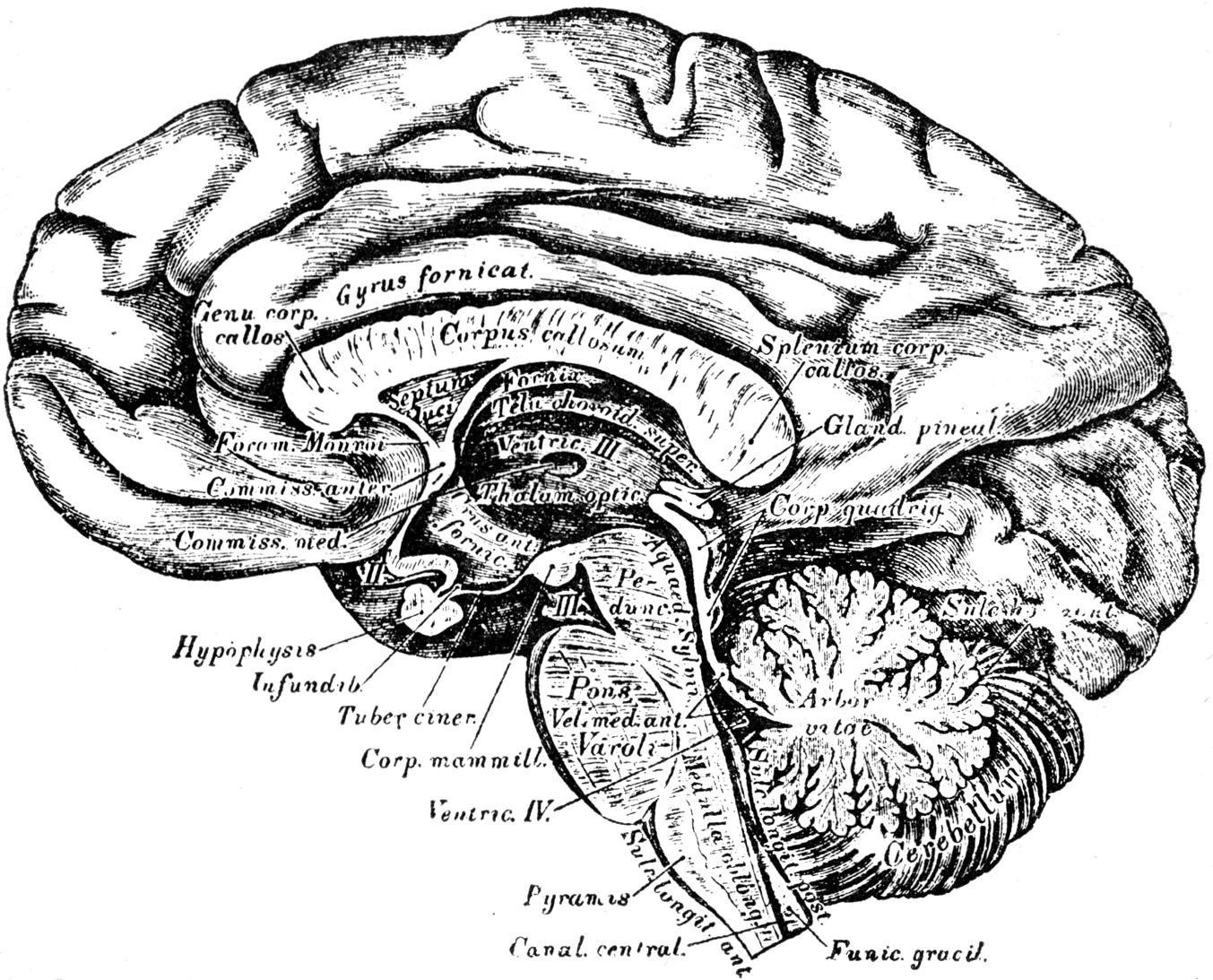 Drawn brains gray's anatomy Journal Buchanan's 1887  April