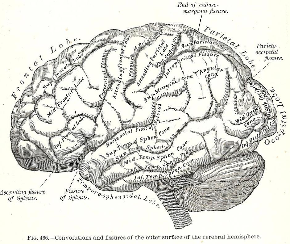 Drawn brains gray's anatomy Halloween printable Illustrations Anatomy 1893